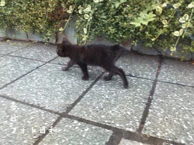D1006020 週末の大通りを黒猫が歩く