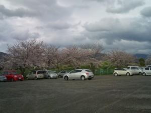 F1000400 300x225 桜が咲きましたね。