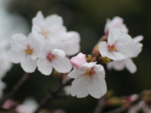 wpid DSC 4309 桜日和